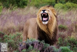Wildlife - Lion in South Africa